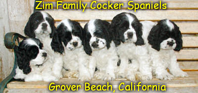 timmy-turner-cocker-spaniels-in-southern-california-and
