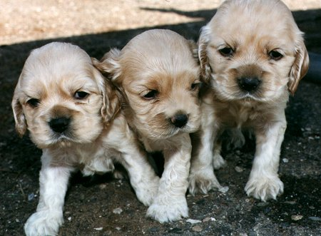 3 blonde pups from litter #1